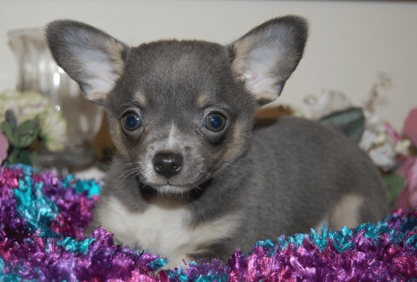Small Blue Chihuahua