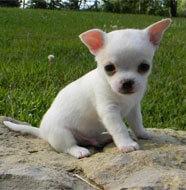 chiwawa_puppy-white
