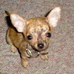Small Tan Chiwawa Puppy
