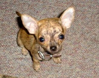 Small Tan Chiwawa Puppy