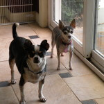 Blue Chihuahua and Black and White Chihuahua