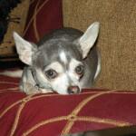 Adult Blue Chihuahua Dog