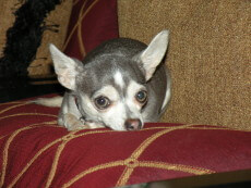 Adult Blue Chihuahua Dog