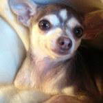 Close Up Blue Chihuahua