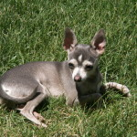 Blue Chihuahua Puppy Dog
