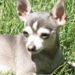 Blue Chihuahua Sunshine