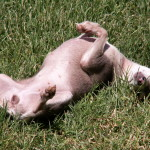 Blue Chihuahua Rolling In The Grass