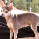 Blue Chihuahua Standing