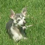 Blue Chihuahua In Sunshine
