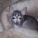 Blue Chihuahua Warm