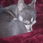 Blue Chihuahua Sleeping