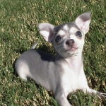 Blue Chihuahua Puppy 9 Weeks