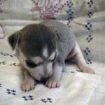 Blue Chihuahua Puppy 4 weeks