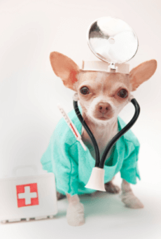 chiwawa dogs - can chihuahuas cure asthma