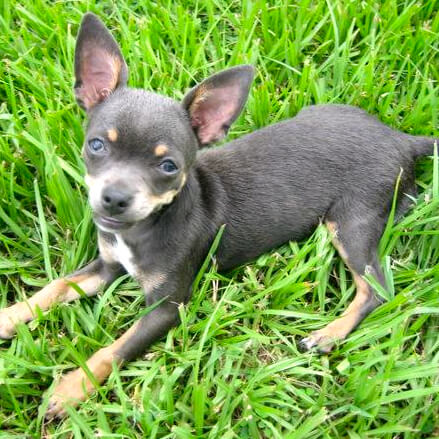 blue chihuahua puppy in grass
