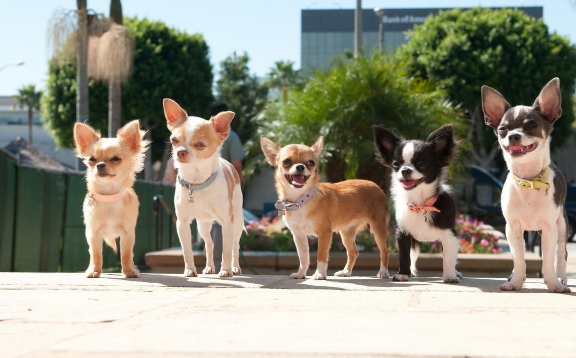 Chihuahua Dogschihuahua Dogs